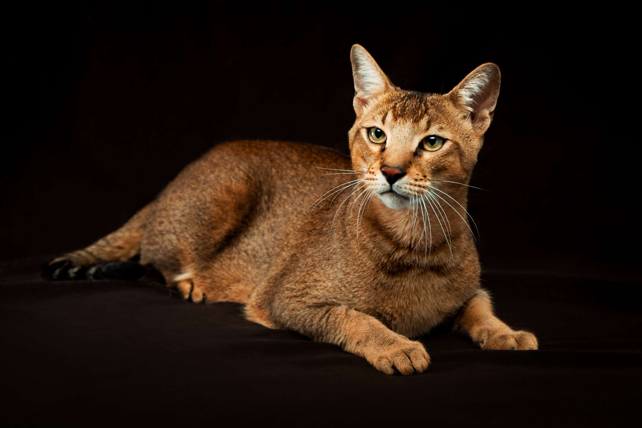 Chausie cat laying down.