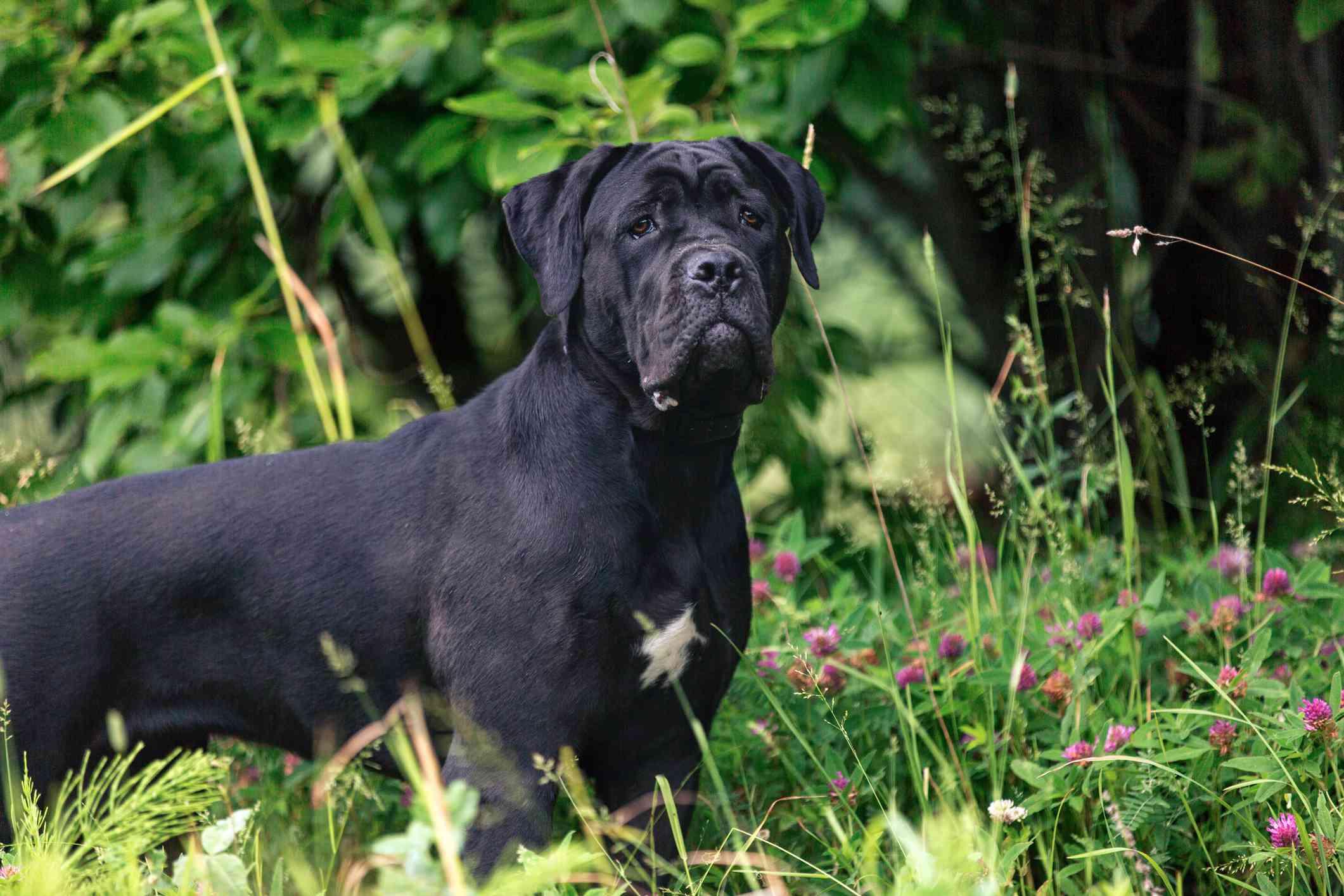 Black Cane Corso standig en hierba larga