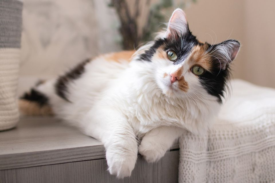 Calico cat with white fur and black and brown fur on face sitting on couch