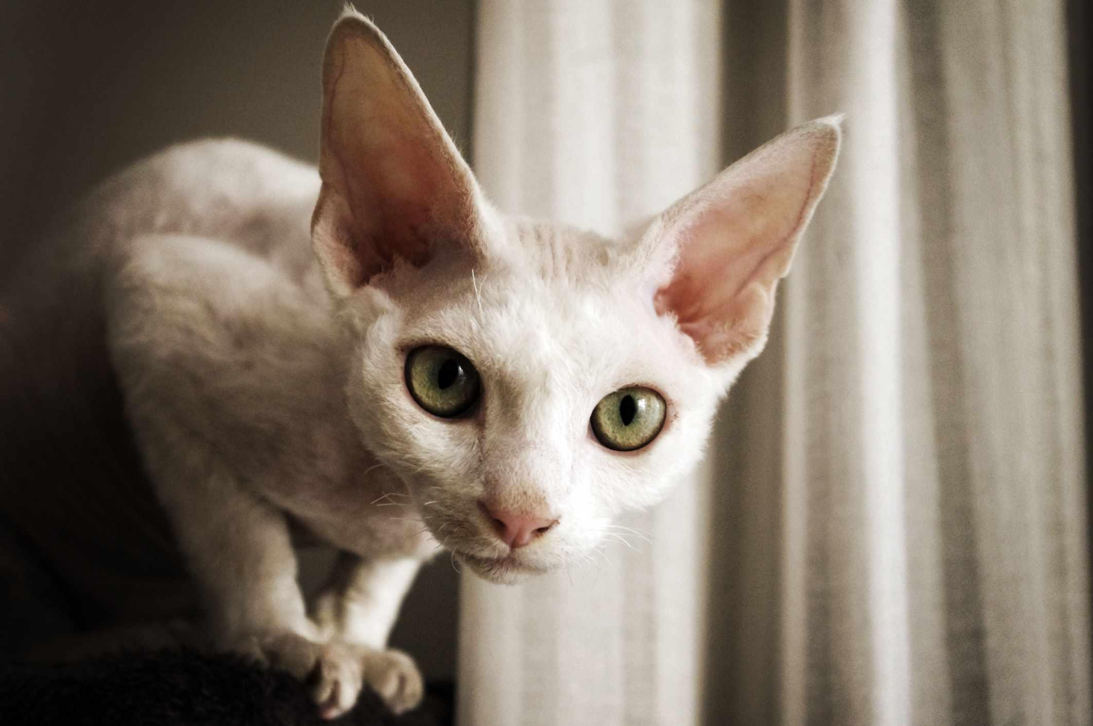 Gato blanco Devon Rex mirando directamente a la cámara