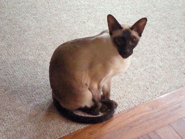 Siamese cat picture: Mousse
