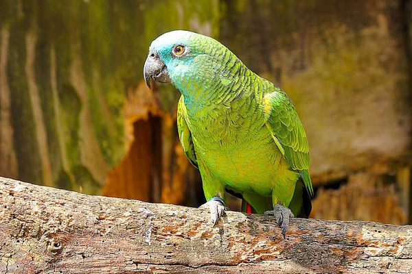 Blue-fronted Amazon (Amazona aestiva), also called the Turquoise-fronted Amazon and Blue-fronted Parrot, is a South American species of Amazon parrot and one of the most common Amazon parrots kept in captivity as a pet or companion parrot.