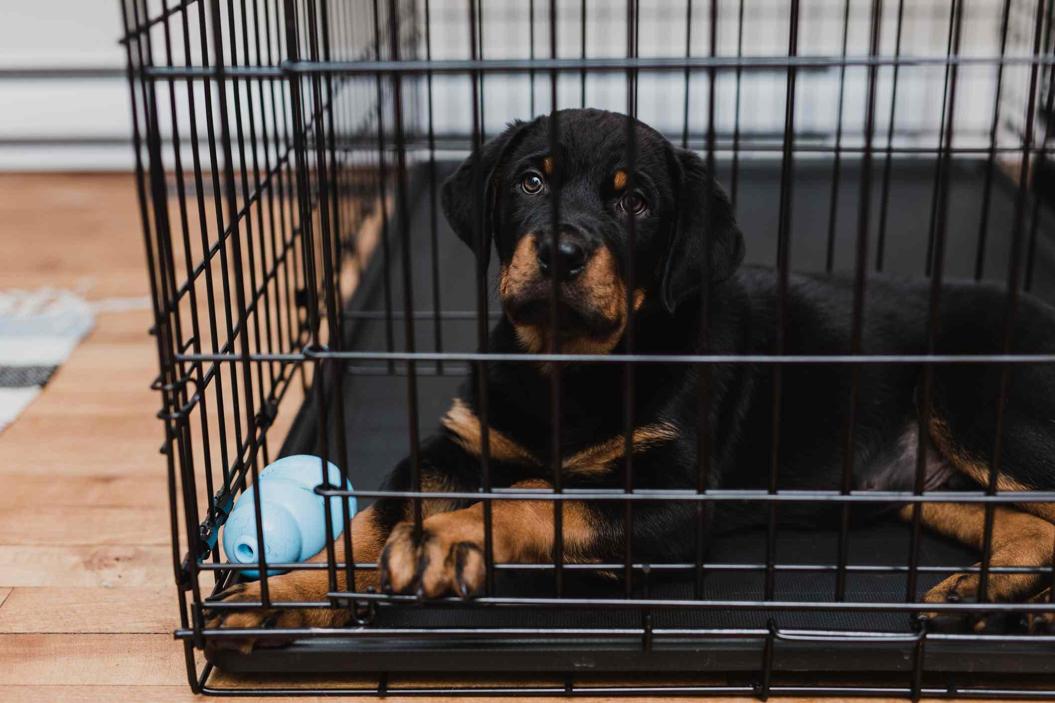 Cachorro Rottweiler dentro de su caja