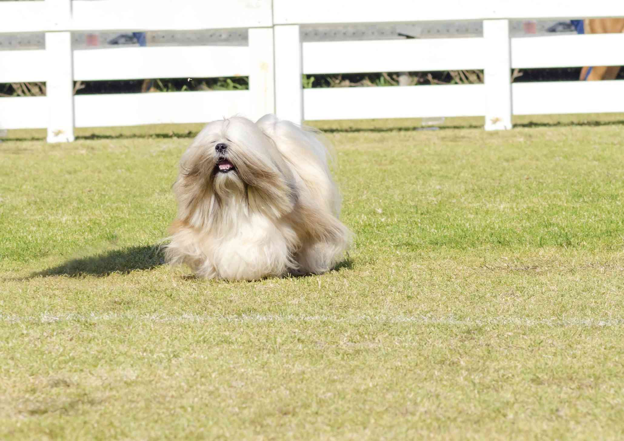 Tibetan Terrier being shown in the ring