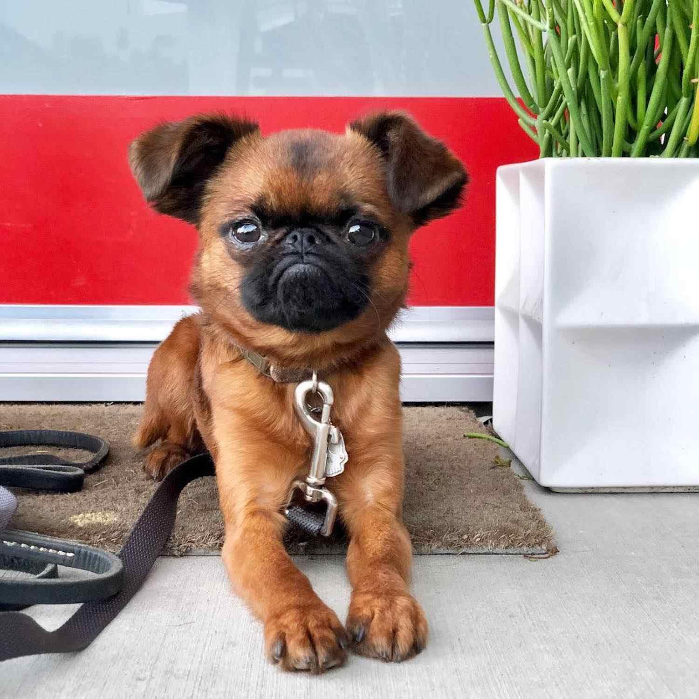 Brussels griffon dog