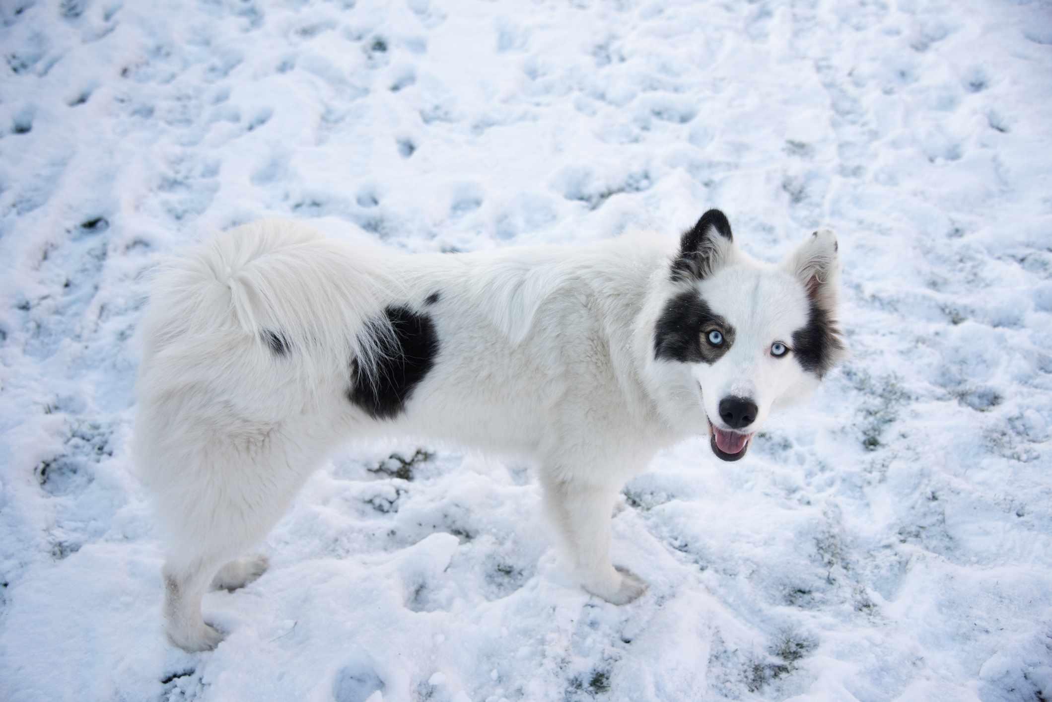 Yakutian lakia dog
