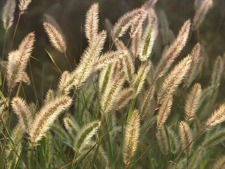Protect Your Pets From Cheatgrass and Foxtails