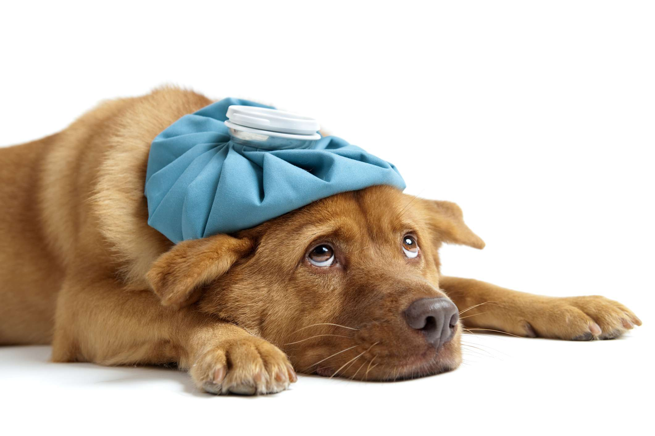 Dog with cold compress on head and neck.