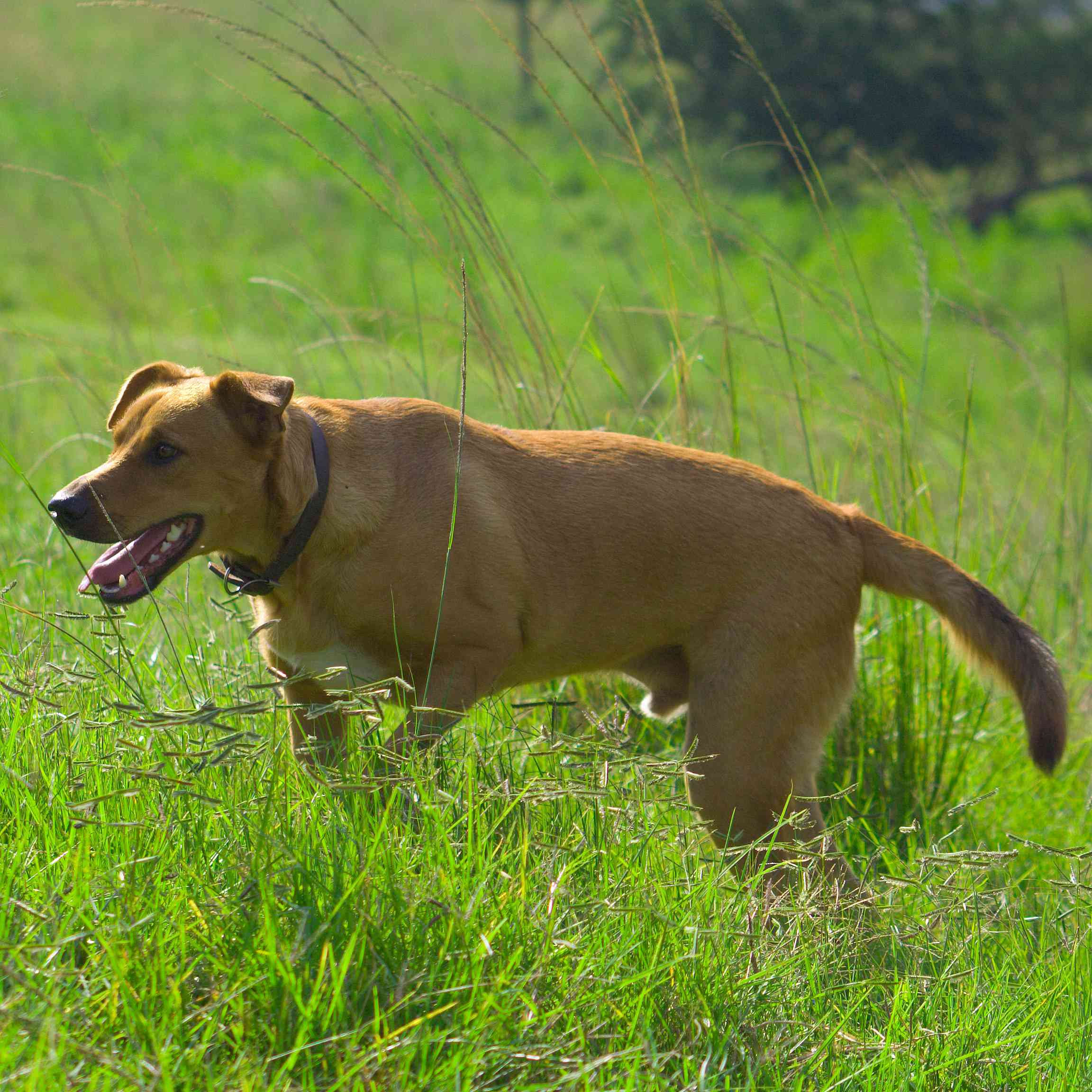 African Dog - Africanis