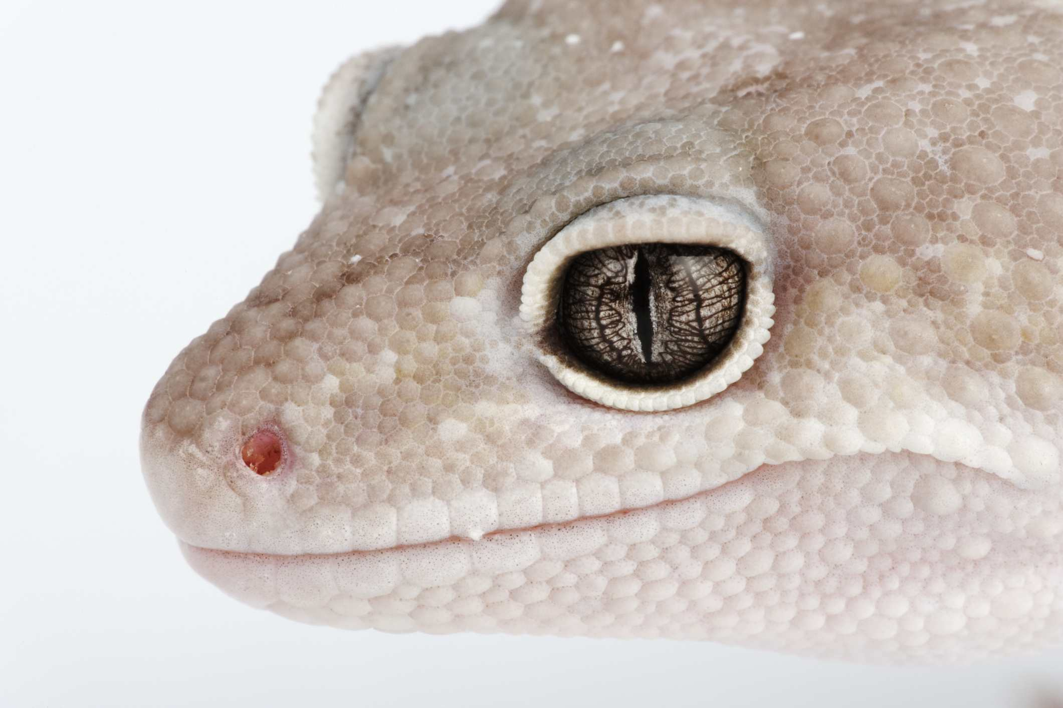 Close up of a blizzard leopard gecko