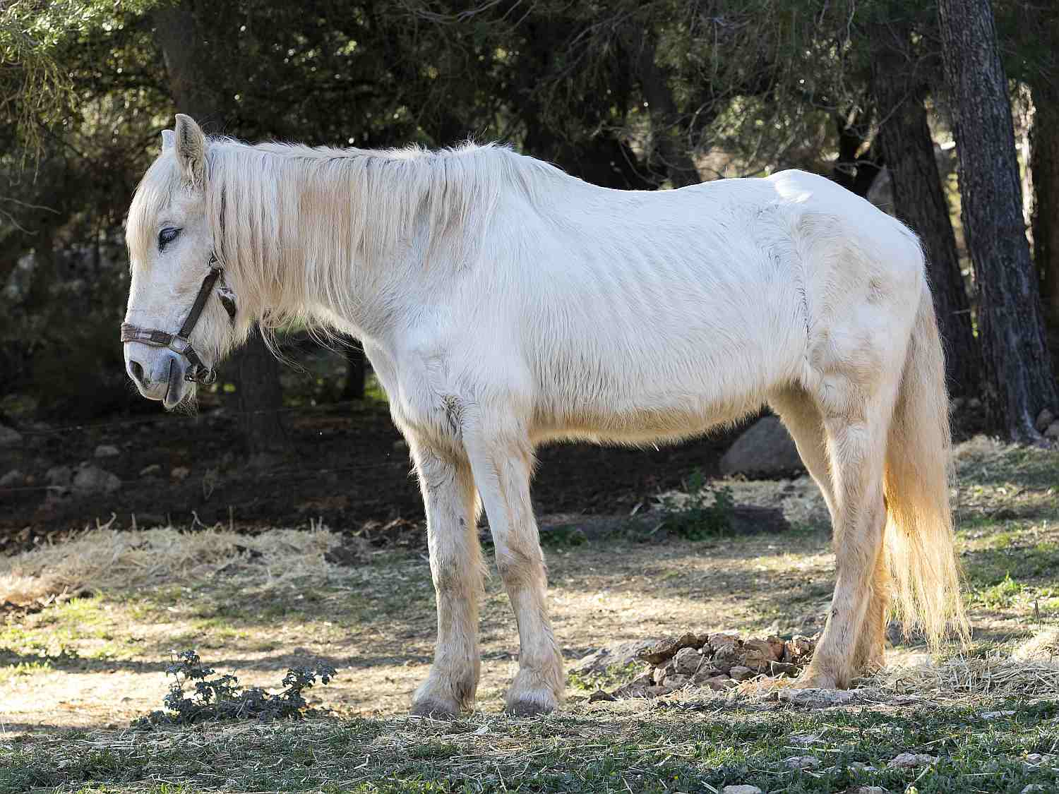 Side view of white pony with ribs showing and long mane.