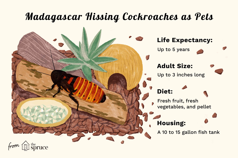 Madagascar cucarachas silbantes como mascotas