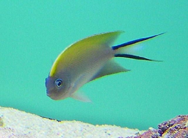 Female Swallowtail Angelfish (Genicanthus melanospilos)