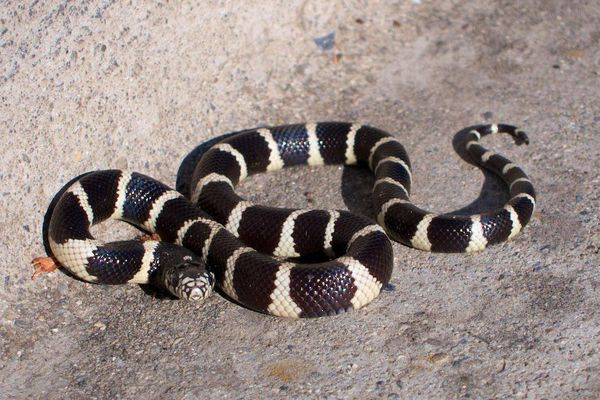 King Snake by the curb