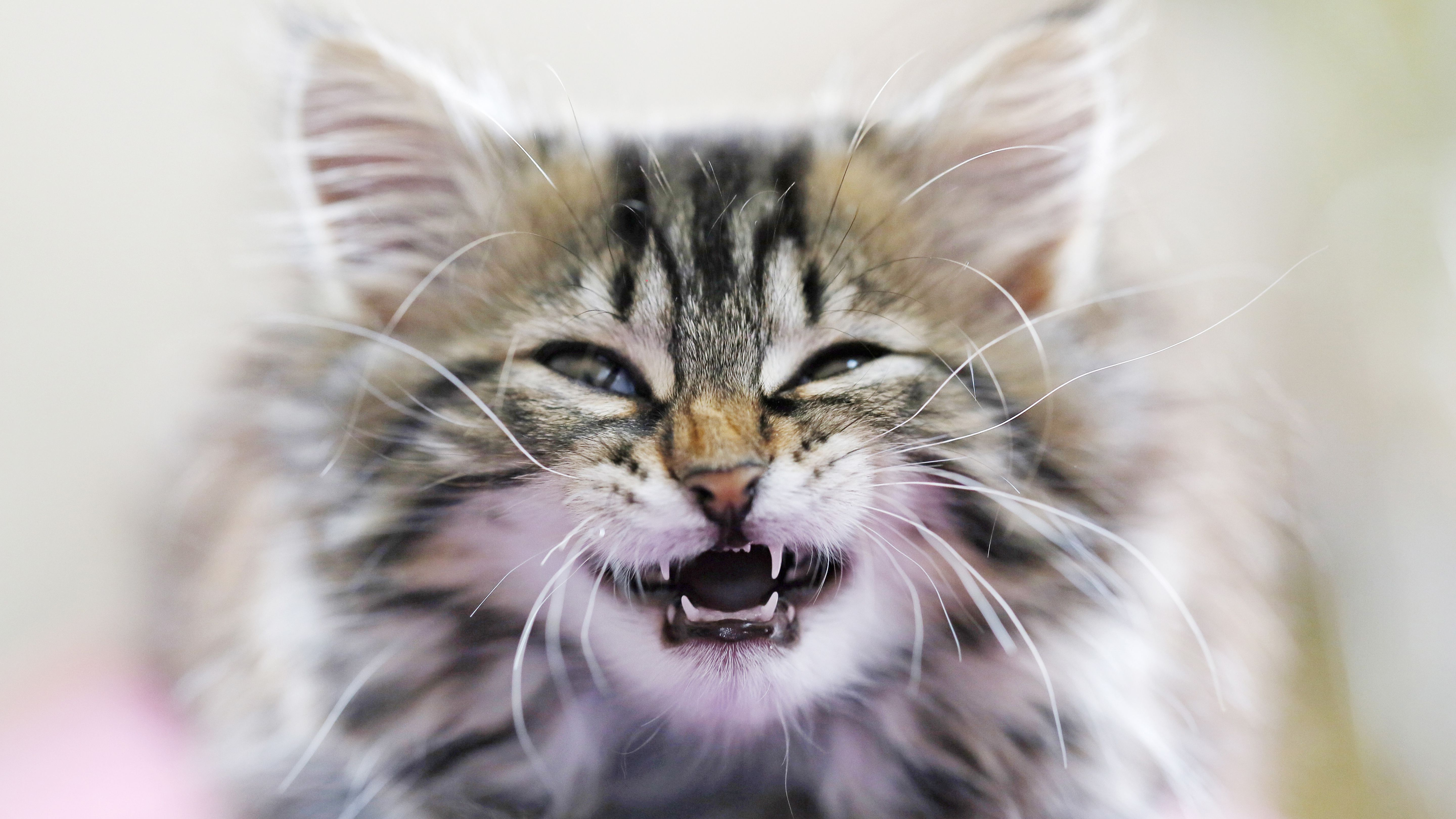 What You Should Know About Kitten Teeth and Dental Care