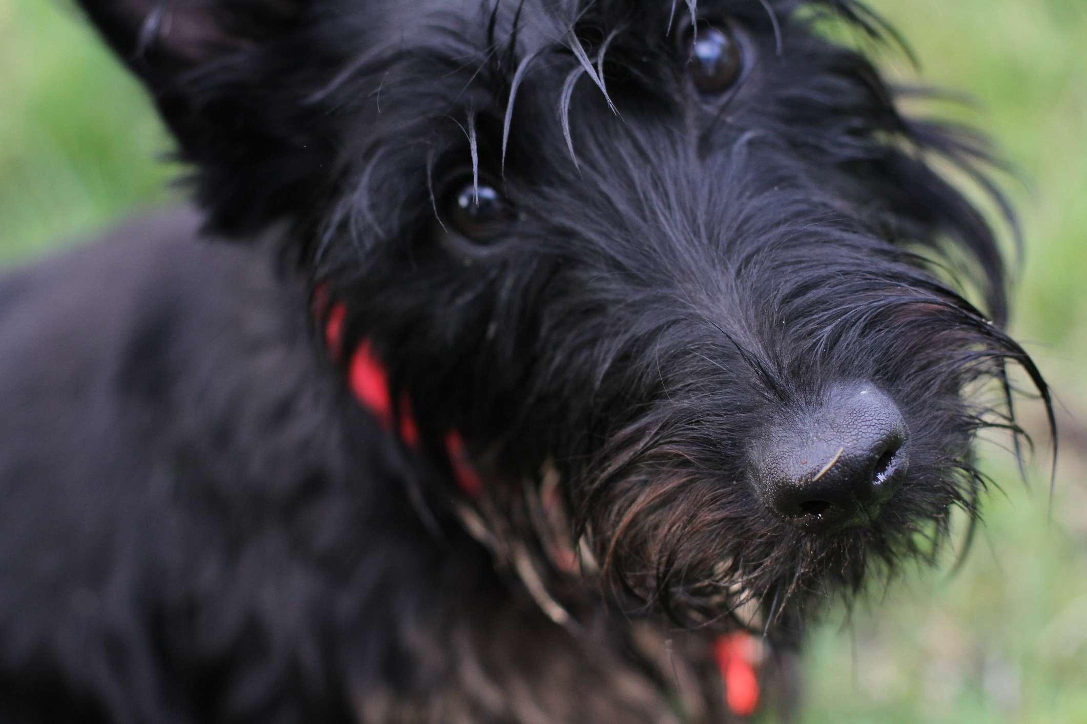 Up close portrait of Scottish terrier