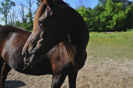 Morgan Horse Breed Profile and Facts