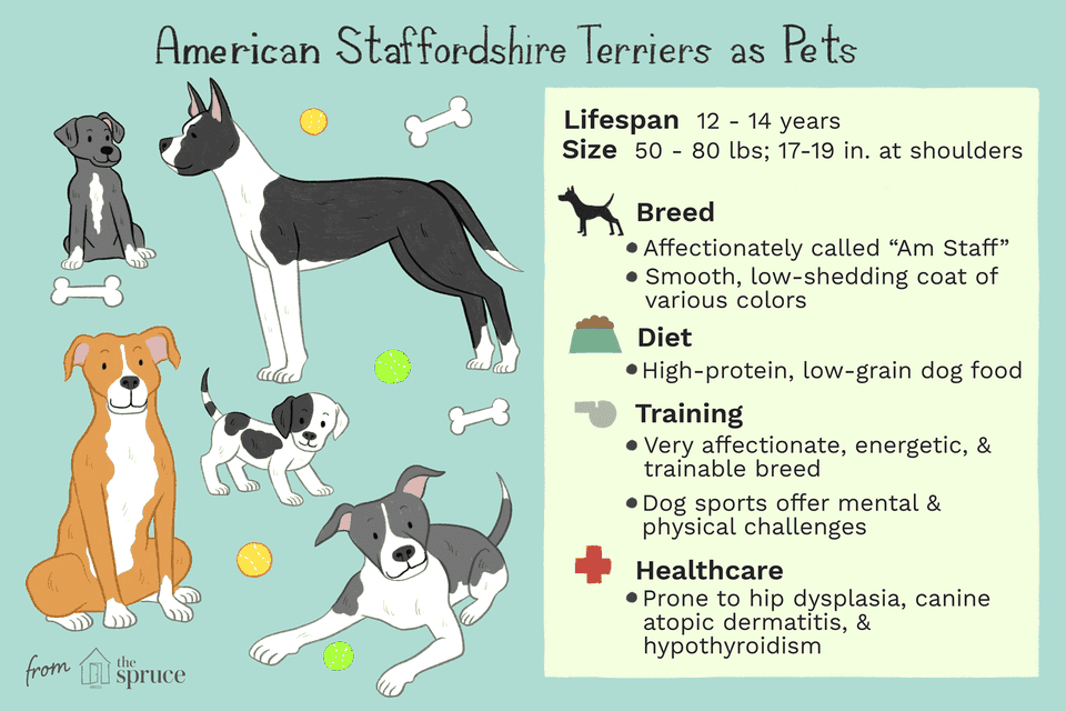 american staffordshire terriers as pets: care sheet
