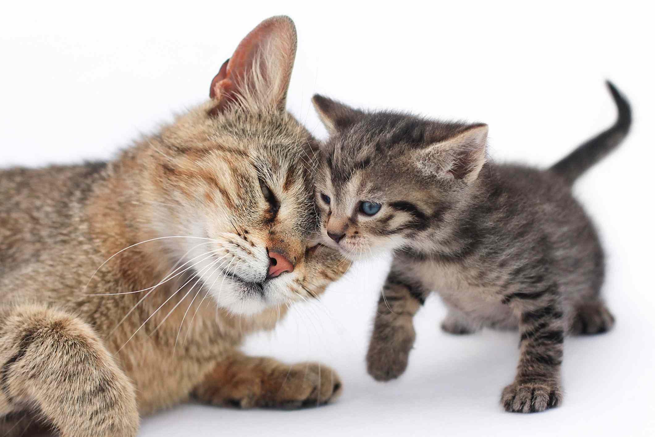 Gata madre acariciando a un gatito pequeño