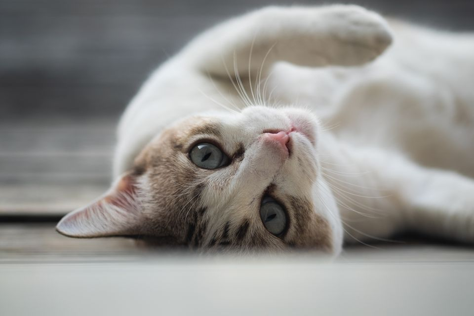 Retrato de gato acostado de espalda