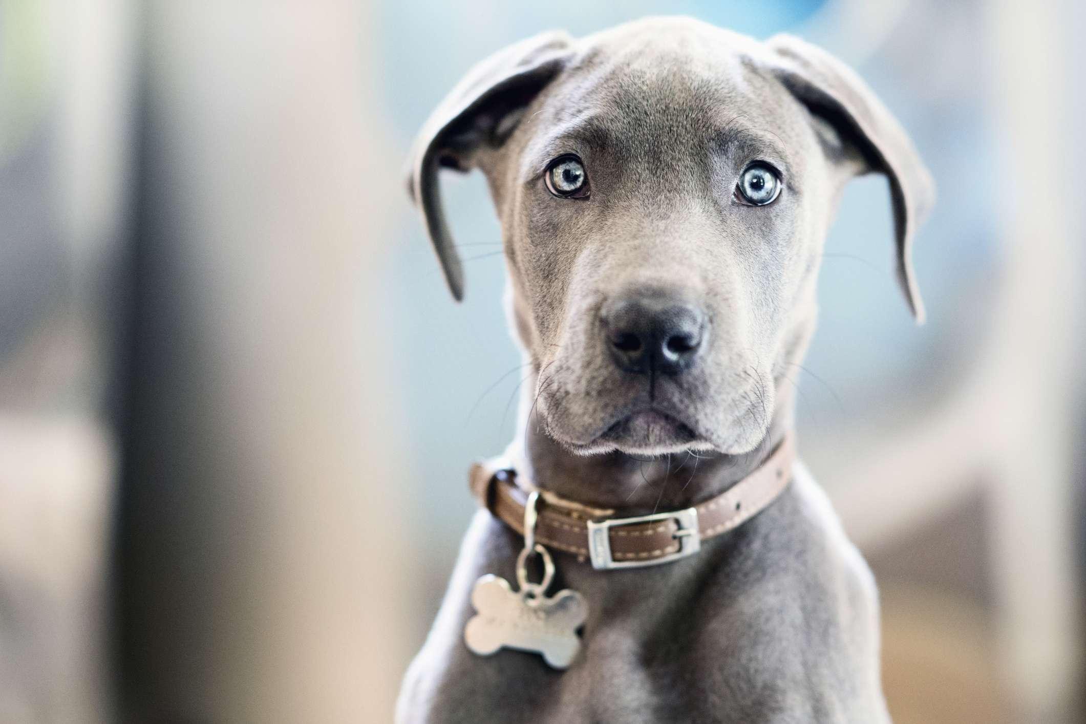 Portrait cute gray Great Dane puppy with blue eyes