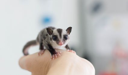 Sugar gliders have patagium that is visible when they extend their legs.