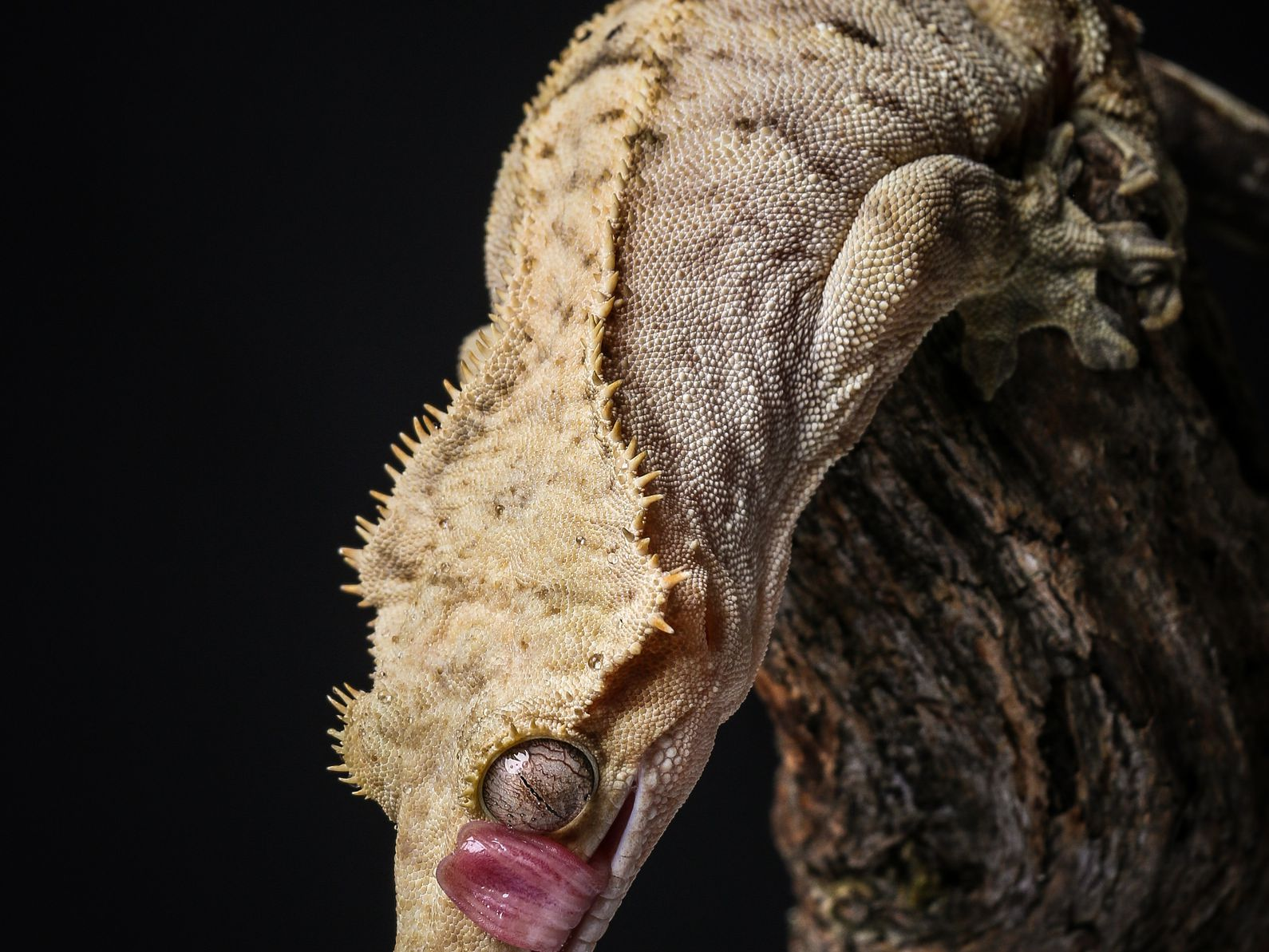 A Guide To Caring For Crested Geckos As Pets