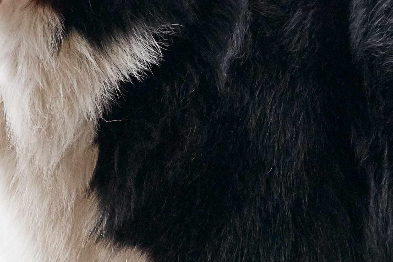 Closeup of a Bernese Mountain Dog's fur