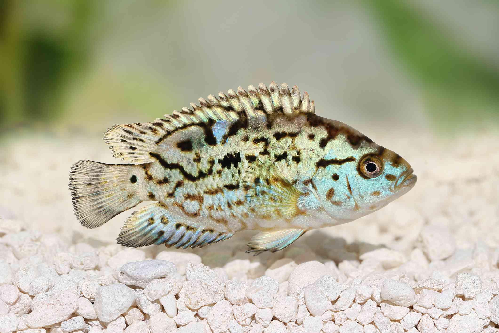 Electric Blue Jack Dempsey Fish