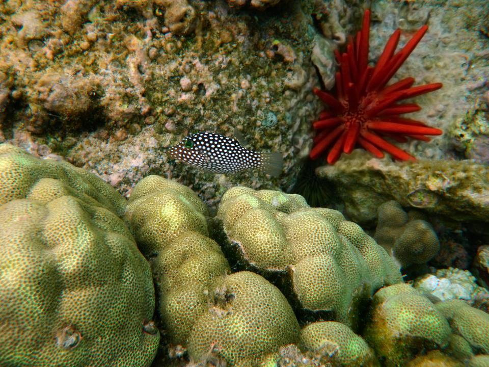 Hawaiian Whitespotted Puffer in Kona