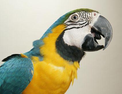 Macaw (Ara araurana), close-up