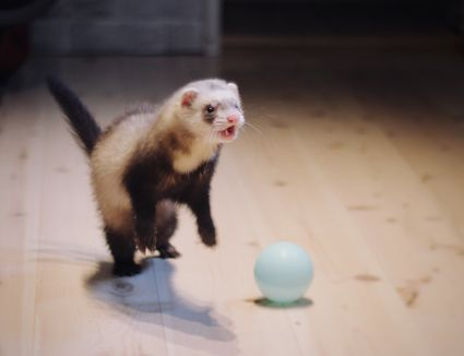 Live With Ferrets And Other Pets