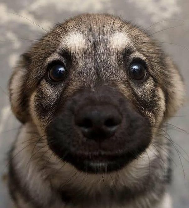 lindo cachorro de pastor alemán