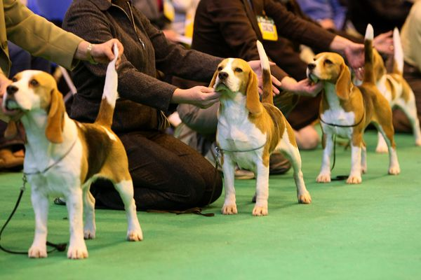 Beagles and their owners line up for the judges on the last day of Crufts 2008