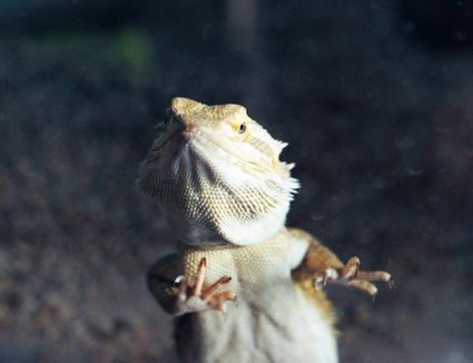 Bearded Dragon standing against the grass