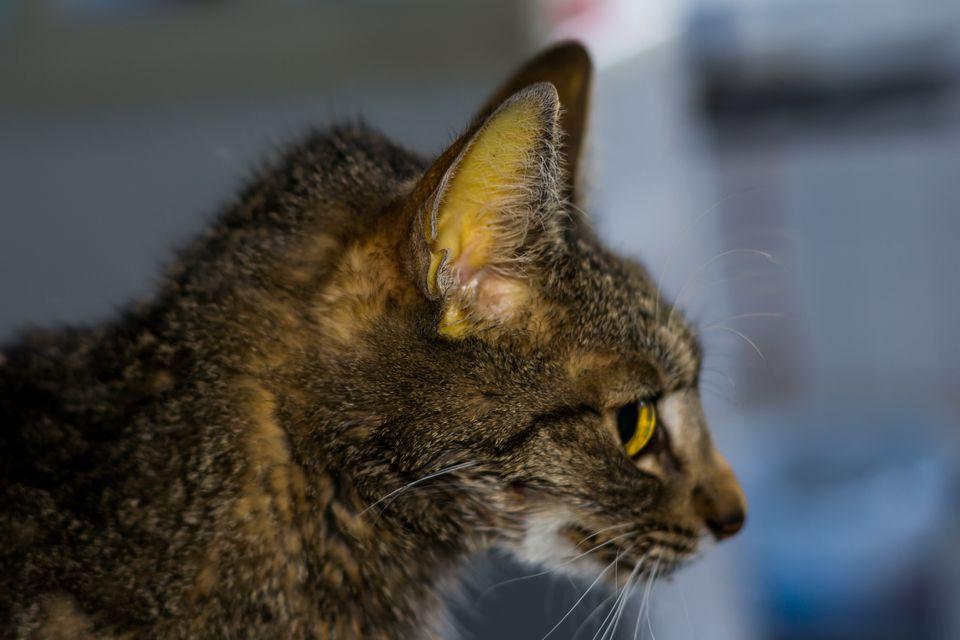 Profile of cat with jaundice.