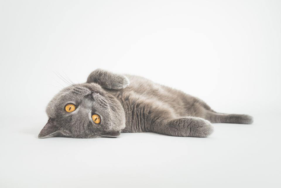 Portrait Of Cat Lying Against White Background