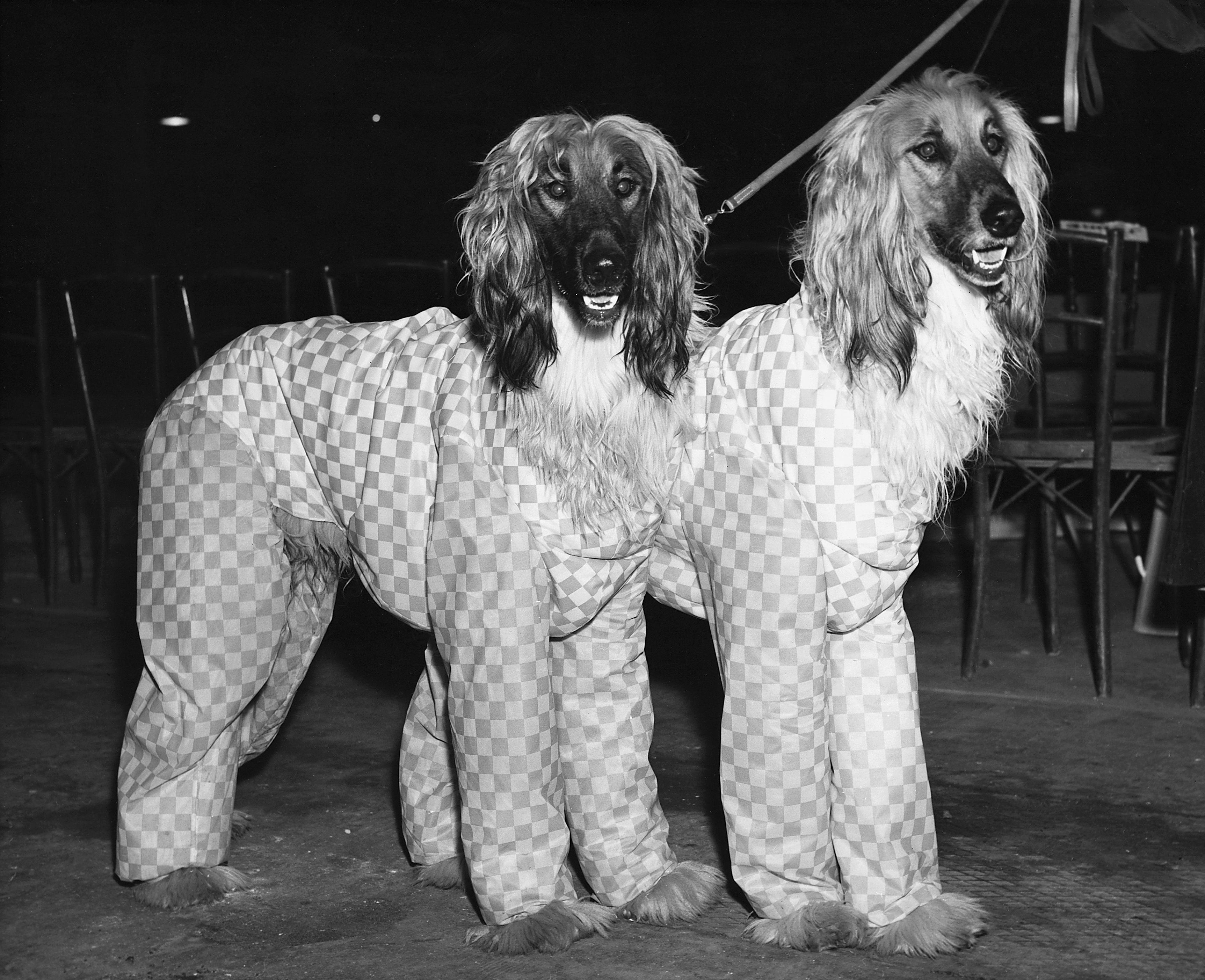 Afghan Hounds 1957 Cruft dog show