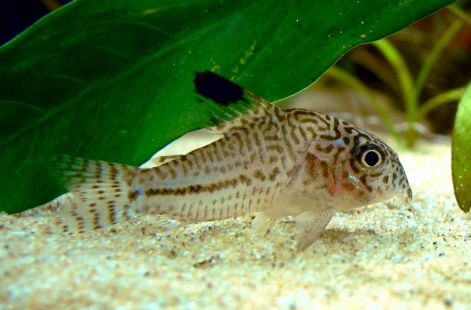 Three Stripe Cory Fish