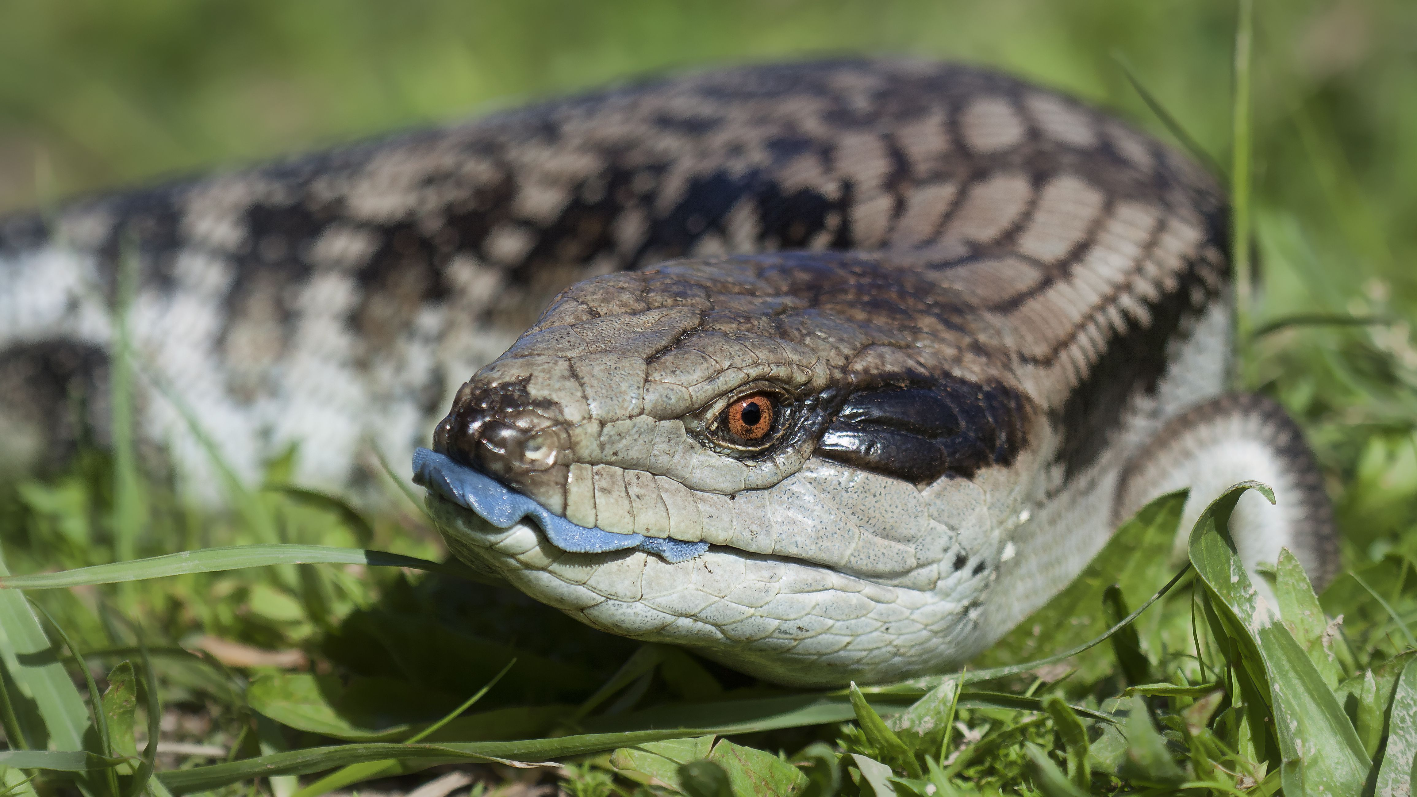 A Guide To Caring For A Pet Blue Tongued Skinks