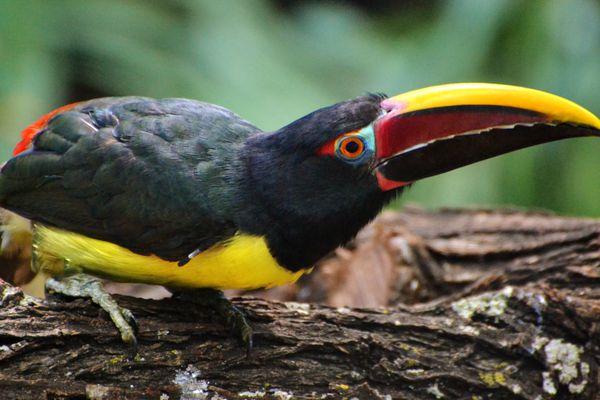Green Aracari (Pteroglossus viridis)