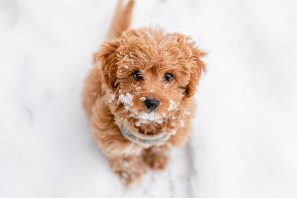 Light brown and fluffy puppy sitting while looking up and covered in snow