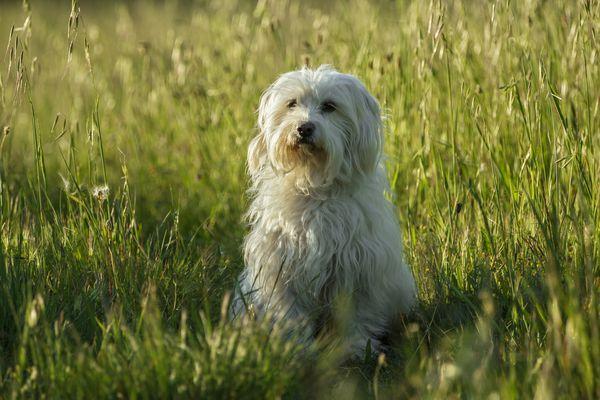 A Coton de Tulear dog siting in an open field