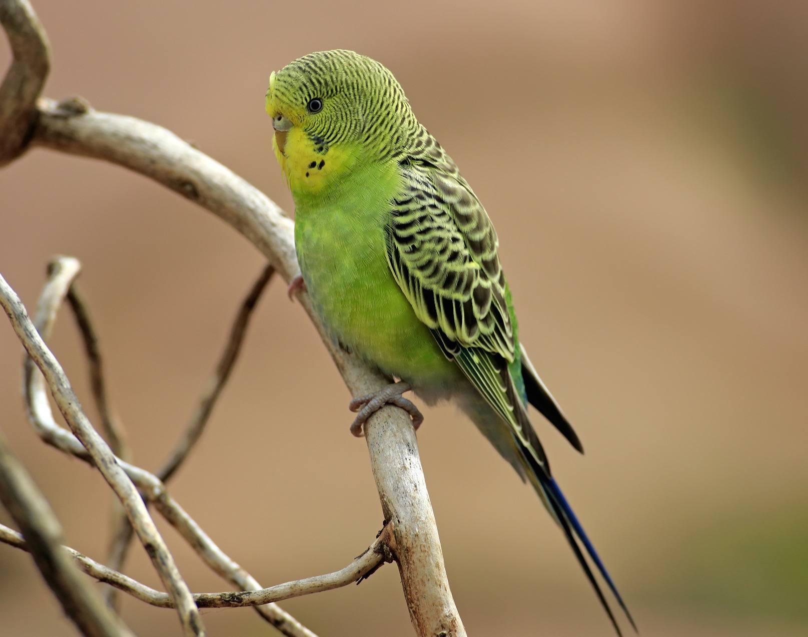 Green budgerigar sitting on a branch