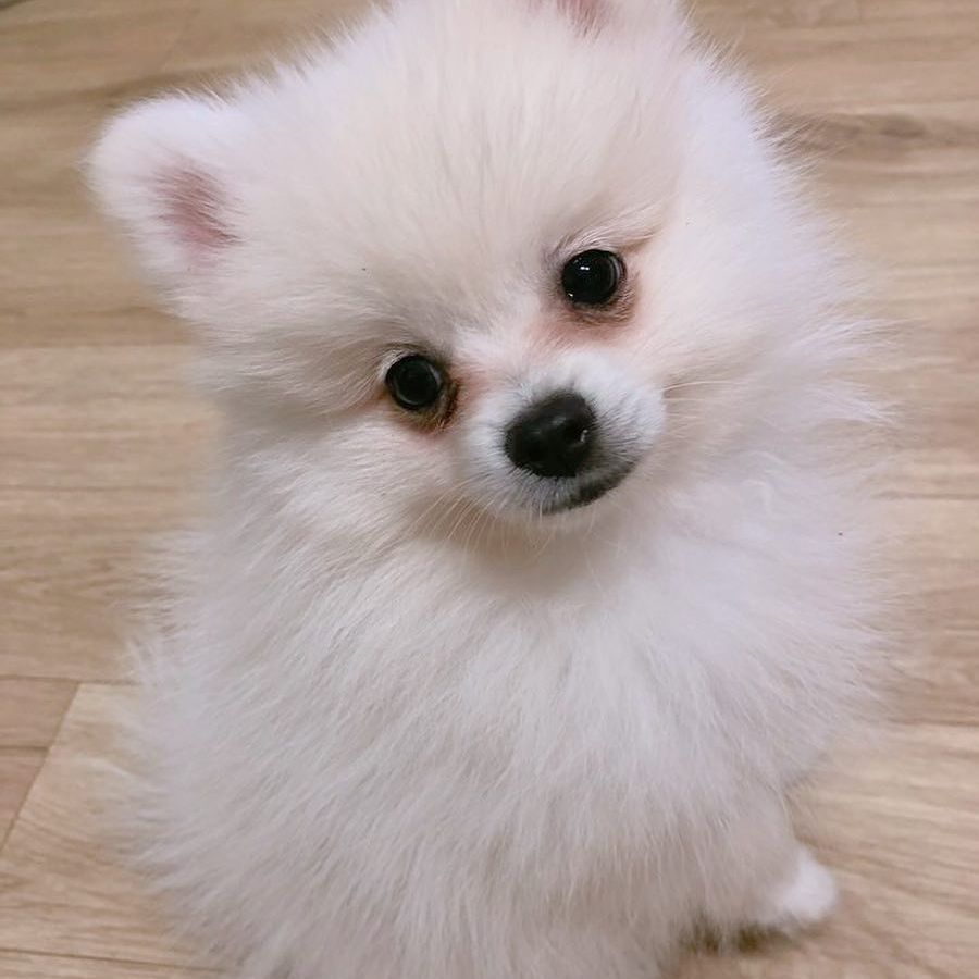 A pomeranian puppy looking at the camera.