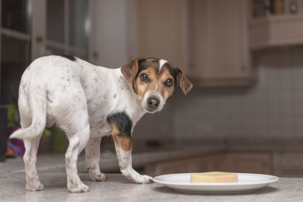 A dog standing near a plate of cheese