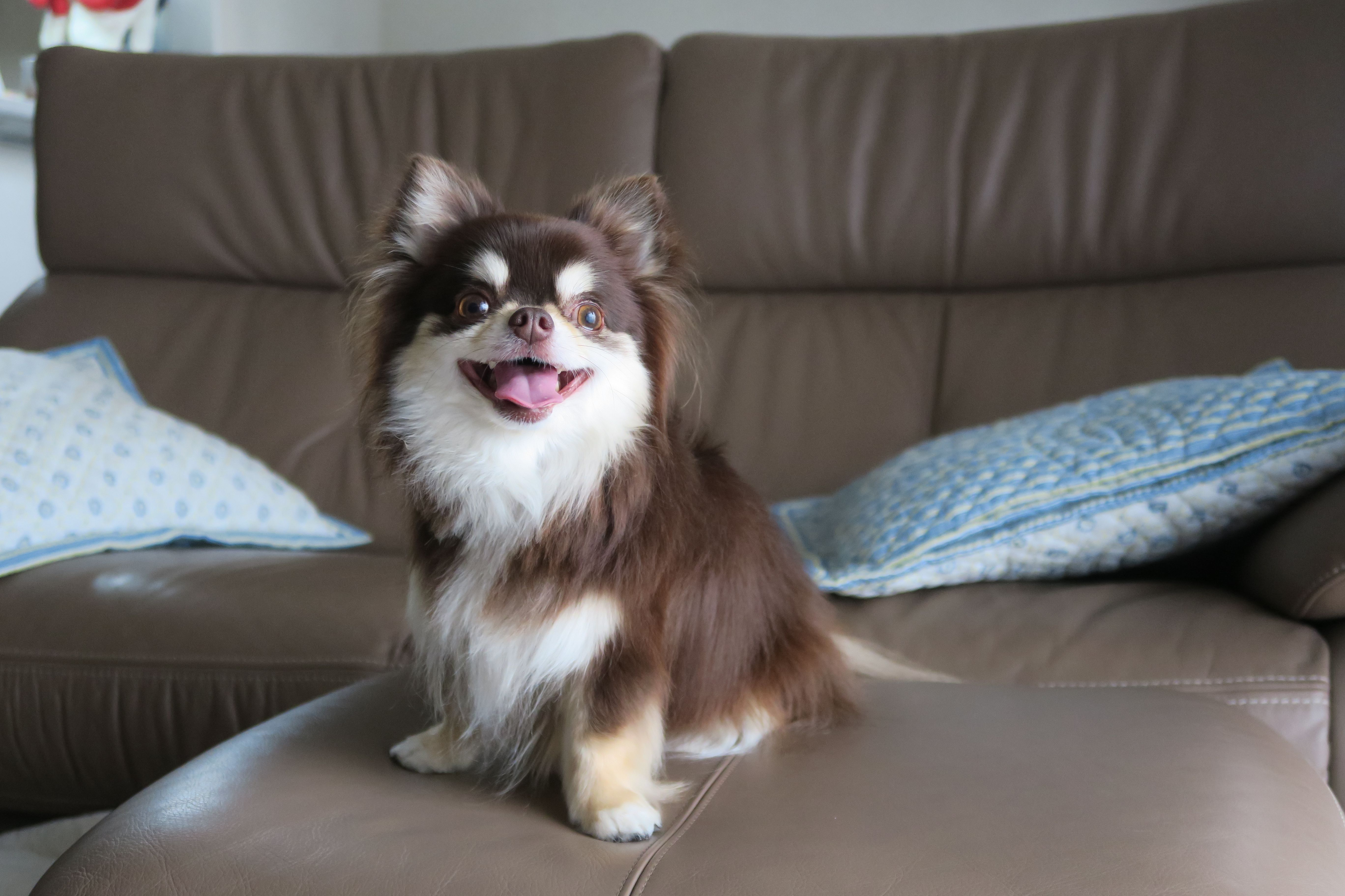Long-haired chihuahua on sofa