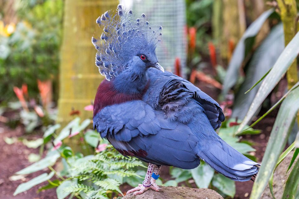 Close up of a beautiful Victoria crowned pigeon (Goura cristata)