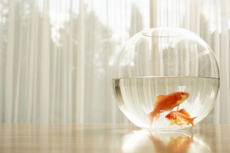 Portrait of goldfish in a bowl