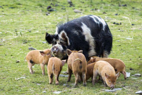 Kunekune pig with piglets